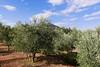 P1780236.jpg (brianduncan) Tags: garden malika atlas olives domaine