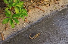 Bahamas (Nassau) Curly tail lizzards are native to Bahamas Islands