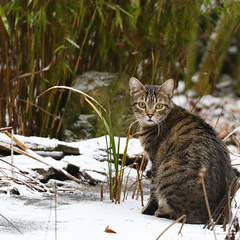 Winter Adventures (AnyMotion) Tags: nelli pond teich frozen gefroren snow schnee pet cat cats katze katzen animals tiere bamboo bambus 2017 anymotion garden garten nature natur tabby getigert atigrada félin chat gata 7d2 canoneos7dmarkii square 1600x1600 winter hiver invierno
