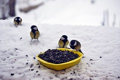A bowl of seeds... (Zsofia Nagy) Tags: ourdailychallenge greattit seeds bird birdfeeder sunflowerseeds snow winter d3100 depthoffield dof animal nature garden