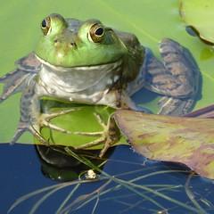 Wheaton, IL, Cantigny Park, Idea Garden, Water Lily Pond, Frog Macro Reflection (Mary Warren (7.8+ Million Views)) Tags: wheatonil cantignypark ideagarden nature flora plants green fauna animal amphibian reflection frog coth5