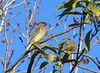 cedar waxwing-san joaquin marsh (2) (gskipperii) Tags: bird pretty unique colorful sanjoaquin irvine sanctuary wildlife animal outside nature orangecounty ornithology