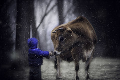 Bunny and the Beast (Phillip Haumesser Photography) Tags: boy bunny cow kid child snow snowing snowy snowfall snowcover winter rabbit farmanimals animals kidsandanimals wonderland winterwonderland mystic mystical love magic magical