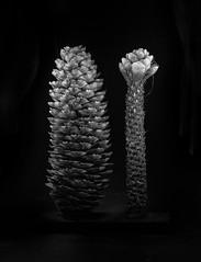 squirrel's work (bernhofen) Tags: tannenzapfen pinecone bw nature tree konifere lightpainting nadelbaum fichte stilllife lowkey