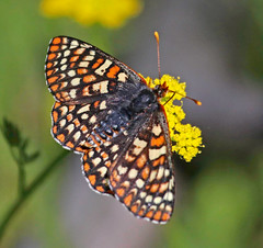 CAD0001531a (jerryoldenettel) Tags: 2016 canadadecachon chalcedoncheckerspot euphydryaschalcedona nm nymphalidae nymphalinae rioarribaco variablecheckerspot butterfly checkerspot insecteuphydryas