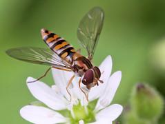 Episyrphus balteatus (6) (saracenovero) Tags: episyrphusbalteatus syrphidae diptera flies fliesoflithuania mazeikiai 2016