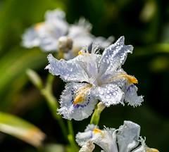 Lily White. (Omygodtom) Tags: raindrop waterdrops flickr flower white lily outdoors park macromonday macro bokeh tamron nikkor tamron90mm nature nikon d7100 f28