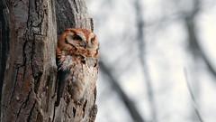 The Screech Owl [EXPLORED] (RGL_Photography) Tags: animalkingdom birds birdsofprey easternscreechowl megascopsasio mothernature nikonafs200500mmf56eedvr nikond610 ornithology owls raptors rufousmorph wildlife wildlifephotography us unitedstates newjersey gardenstate
