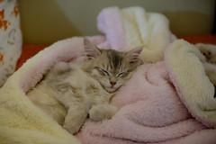 sleeping (il goldcat) Tags: goldcat gatti cats siberiani siberian micini gattini