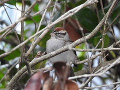 Chipping Sparrow (dwf522) Tags: bird sparrow chipping jacksonville