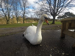 Mute swan (Uktransportvideos82) Tags: muteswan swan