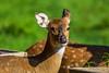 Breakfast (Rico the noob) Tags: dof bokeh closeup d500 switzerland outdoor 2016 animal zurich schweiz published nature animals eye 200500mm deer 200500mmf56