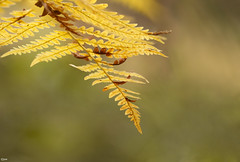 Ferns have very nice colours in the autumn (Jessie van Weert) Tags: wonderful warm explore extreme extreem yellow dynamic mysterious dynamisch outdoor outside sun sunshine interesting impressive incredible nikon d3100 nice light photography plant plants adorable atmosphere autumn depthoffield depth dof detail flickr fotografie fabulous forest focus fall fern gorgeous green holland herfst licht zon closeup beautiful bijzonder netherlands nature ngc natuur natuurgebied natuurmonumenten nijmegen magical macro gelderland rijkvannijmegen