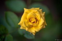 20161204-DSC_3312 (Vighnaraj Bhat) Tags: nikon d750 nikkor105mmf28gvr fullframe macro bokeh closeup rose bokehlicious beyondbokeh flower beautiful outdoor
