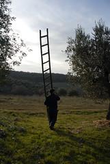 Tempi di potatura (luc.feliziani) Tags: scala potatura olivo campagna tradizione alberi
