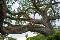 Georgia State Tree (Jon Ariel) Tags: stsimonsisland stsimons island georgia ga tree liveoak child georgiacoast