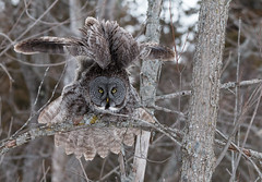 Wings Up Great Gray Owl (NicoleW0000) Tags: owl ggo great gray wild wildlife photography outdoor