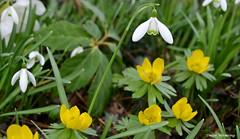 Schneeglöckchen u. Winterlinge (diwe39) Tags: schneeglöckchen winterlinge botanischergarten frühling2017