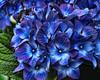 Blue Hydrangea (ladyinpurple) Tags: lightroom topaz adjust hydrangea blue