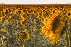 The general sunflower... (Ramiro Francisco Campello) Tags: girasol campo sunflower sunflowers yellow amarillo sky cielo paisaje landscape remember recuerdos earth tierra planeta