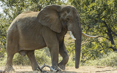 Leviathan (philnewton928) Tags: africanelephant elephant elephantbull loxodontaafricana mammal animal animalplanet wild wildlife nature natural shingwedzi kruger krugernationalpark africa southafrica outdoor outdoors safari nikon nikond7200 d7200