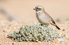 Cape Sparrow (Passer melanurus) (George Wilkinson) Tags: cape sparrow passermelanurus goegap nature reserve northern south africa canon 7d 400mm karoo wildlife