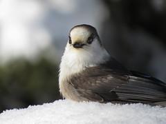 Portrait du Mésangeai du Canada   Forêt Montmorency   Saint-Ferréol-les-Neiges   Québec [Explore 2017-02-13   7] (sylvain.messier) Tags: mésangeaiducanada greyjay perisoreuscanadensis saintferréollesneigesquébec sylvainmessier canonpowershotsx50hs oiseau bird forêtmontmorency