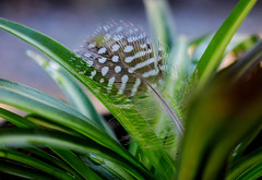 What's around the corner? (Leitratista) Tags: feather everyday object inspiration moment outdoors dof focus green plant garden nikonshots nikond3400 nikoncapture thought hobby lovephotography learnphotography throughherlens co composition nature