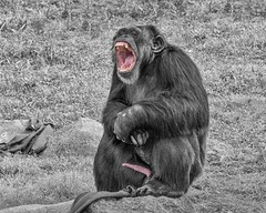 """IIIIIII Feel Good!!!"" (Oliver Leveritt) Tags: nikond7100 sigma50500mmf4563apodgoshsm oliverleverittphotography sigmabigmaos bigmaos sigmabigma bigma houstonzoo flash sb800 speedlight monochrome blackandwhitewithcolor chimpanzee penis dick peter pecker redrocket erection hard hardon mouth bigmouth teeth animal"