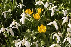 White and yellow (phillipbonsai) Tags: benington snowdrops aconite hertfordshire eranthishyemalis