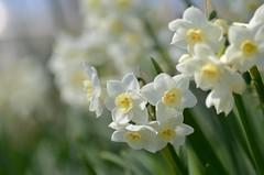 narcissus (snowshoe hare*) Tags: dsc0005 flowers narcissus botanicalgarden スイセン 水仙 海の中道海浜公園