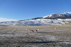 By the North Entrance (mollsie) Tags: northernpygmyowl pronghorn wildlife yellowstonenationalpark