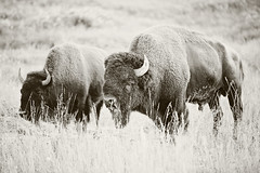 Bison Sepia (Nick - n2photography) Tags: summer bw usa nature beauty grass sepia canon outdoors blackwhite buffalo feeding eating wildlife parks horns yellowstonenationalpark yellowstone bison canon5d3 7020028iil