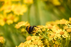 Bee , Ragwort Weed , Okeh (pogmomadra) Tags: flower yellow wednesday insect weeds nikon bokeh bee wildflower ragweed ragwort hbw happybokehwednesday d5300