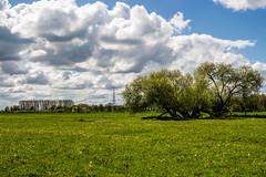 Schne Schachbrettblumen (olmidi) Tags: flowers field punk feld wiese wolken blumen grn fritillaria meleagris hetlingen schachbrettblume kariert kstchen schachbrettblumen