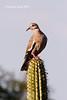 White-winged Dove (Zenaida asiatica) (caro gmz) Tags: explore explorewinnersoftheworld