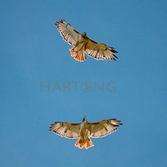 Red tail hawks soaring above the pond during a 1-1 lesson with Angela's Canon 70D 250mm f5.6  #redtailhawk #redtailhawks #ohiodnr #wildohio  #greatparks still screaching!