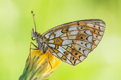 Boloria selene (Prajzner) Tags: macro nature butterfly poland naturallight lepidoptera manfrotto sigma105mmmacro smallpearlborderedfritillary boloriaselene subcarpathia nikond7100 manfrottomt190xpro3