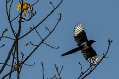 magpie taking off (stela269) Tags: wildlife 40 52 bestphoto 52in2015 52weeksin2015