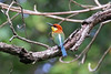 IMG_7757 Chestnut-headed Bee-eater (Cliff Buckton) Tags: indonesia java chestnutheadedbeeeater