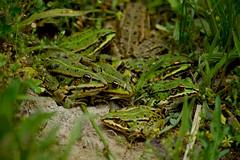 Frogs (carlossahliehm) Tags: ranas frogs wildlife animalia species