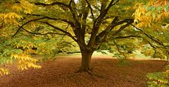 Autumn Carpet (amanda.parker377) Tags: autumn trees england leaves nationaltrust angleseyabbey