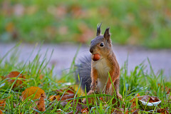 One happy squirrel :-)) (L.Lahtinen (nature photography)) Tags: squirrel autumn autumnleaves kurre orava syksy suomi finland flickr animal eläin redsquirrel nature luonto wildlife cute adorable söpö suloinen furry dof nikon funny d3200 nikond3200 55300mm europe