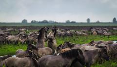 _DSC9066 (duncen.mcleod) Tags: horses horse oostvaardersplassen ifg konikpaarden konikpaard edelherten heckrunderen itfryskegea vrijwilligersuitje heckpaard