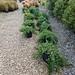 10 Dwarf procumben juniper