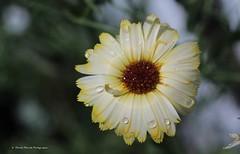Goutelettes énergisantes / Energizing droplets (2) (deplour) Tags: flowers fleurs droplets energizing goutelettes énergisantes
