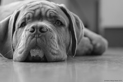 I didn't touch it! (Martin Werge Nissen) Tags: bw fall animal dof indoor maximus canon50mm18 doguedebordeaux
