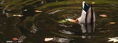 Un pato buceando (Javier Calleja 19:7) Tags: madrid espaa naturaleza lake duck pond upsidedown eating dive pato estanque animales es retiro fondo buceo comiendo parquedelretiro 197 uderwater 19a7