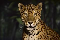 _JIM8416 (James J. Novotny) Tags: bird animals zoo monkey tiger camel ape loin