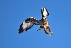 nature hawk wildlife conservation usfws roughleggedhawk migratorybird seedskadeenwr nwrs